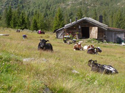 Kalvene på vollen